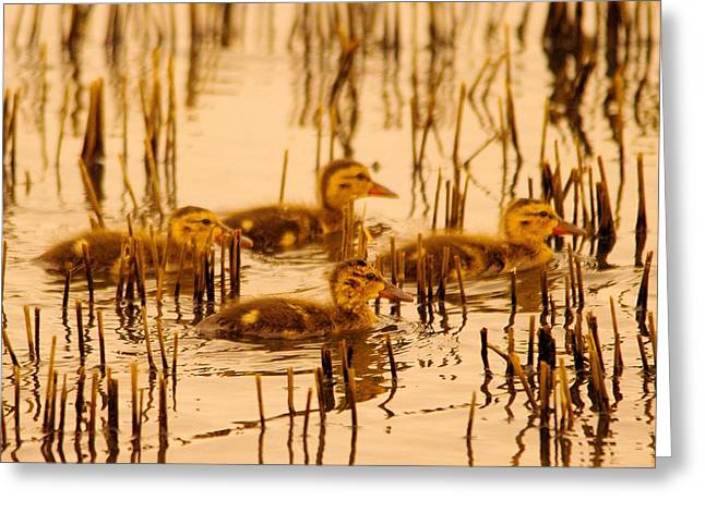 Four Baby Duckies Greeting Card