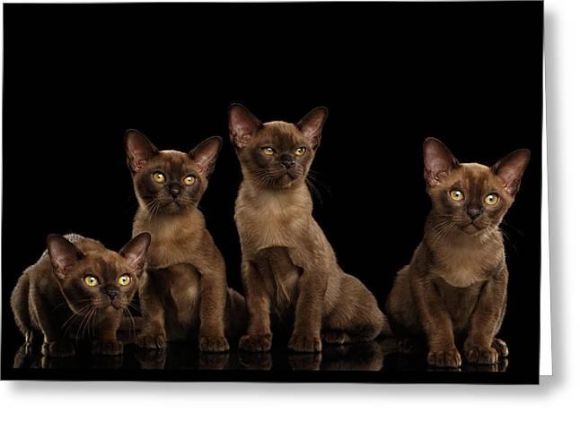 Four Cute Burma Kittens Sitting, Isolated Black Background Greeting Card by Sergey Taran
