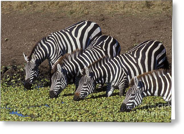Four For Lunch - Zebras Greeting Card by Sandra Bronstein