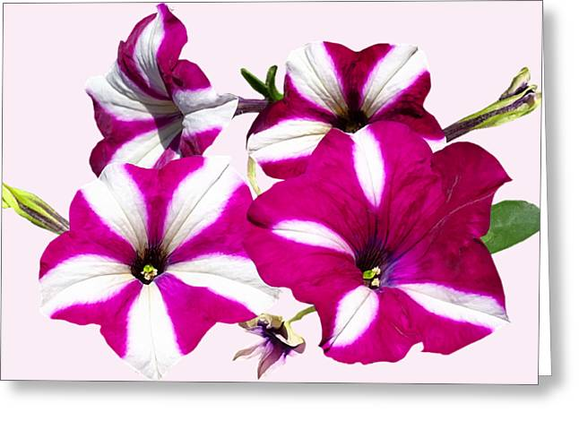 Four Red And White Petunias Greeting Card by Susan Savad