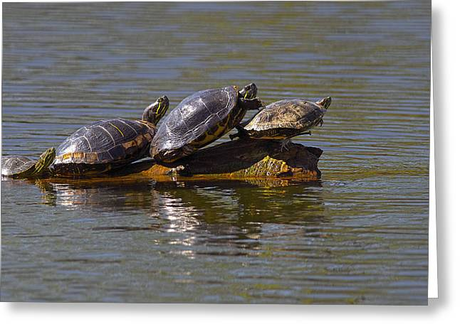 Four Red-eared Slider Turtles Greeting Card