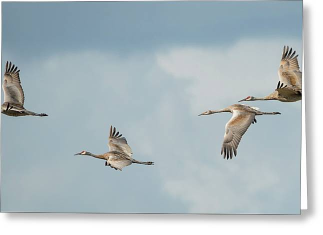 Four Sandhill Cranes In The Storm Greeting Card