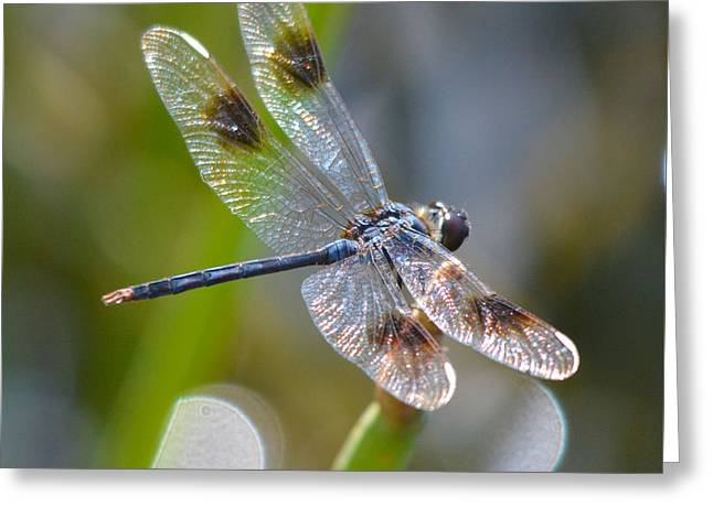 Four Spotted Pennant Greeting Card
