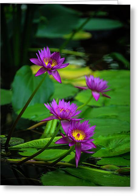 Four Waterlilies Greeting Card