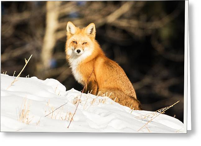 Fox In Snow #3 Greeting Card