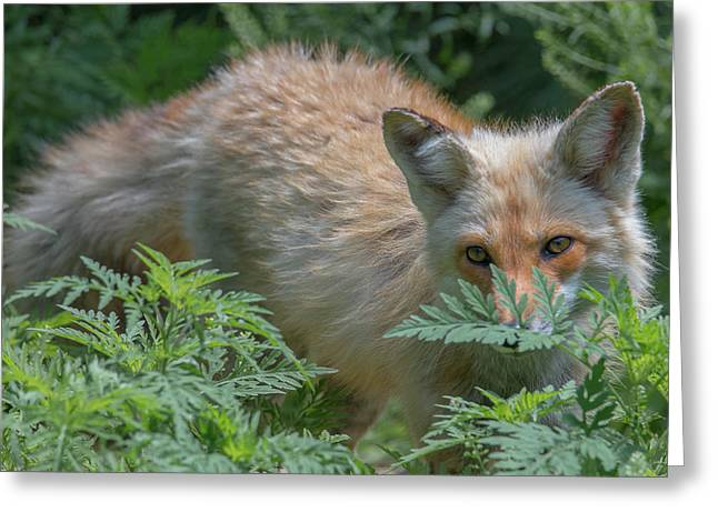 Fox In The Ferns Greeting Card