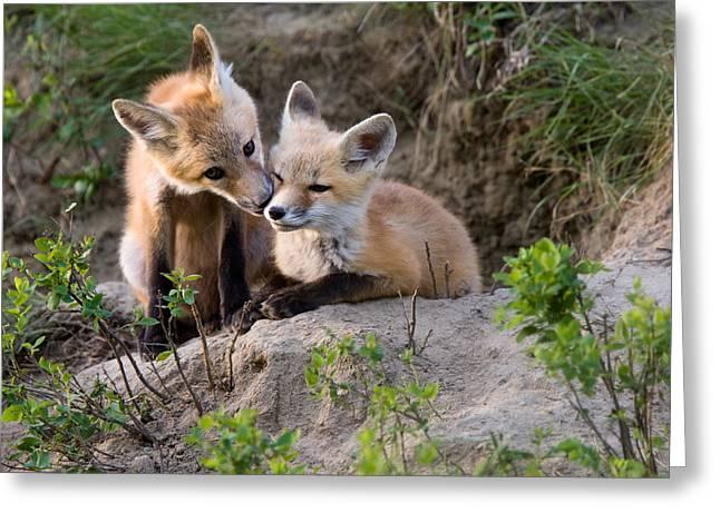 Fox Kits Canada Greeting Card