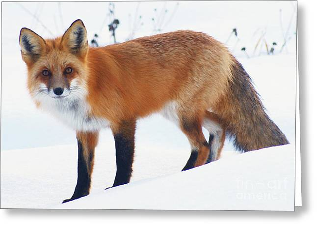 Fox On The Prowl Greeting Card