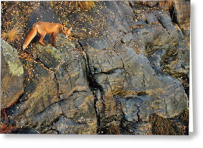Fox On The Rocks Greeting Card