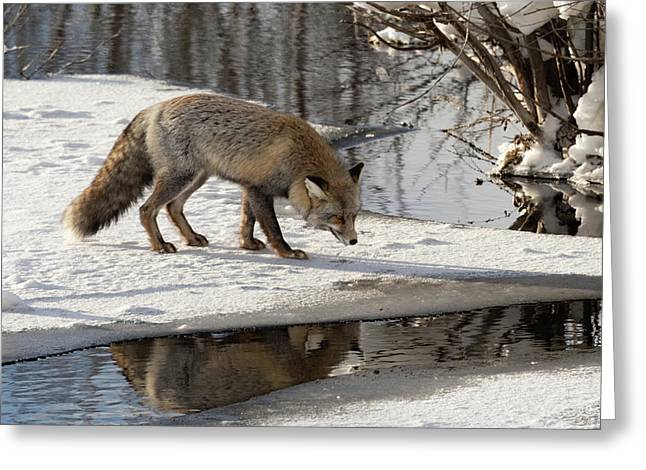 Greeting Card featuring the photograph Fox Reflection by Ronnie and Frances Howard