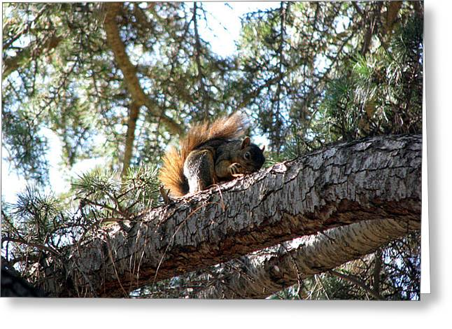 Fox Squirrel Greeting Card by Chris Gudger