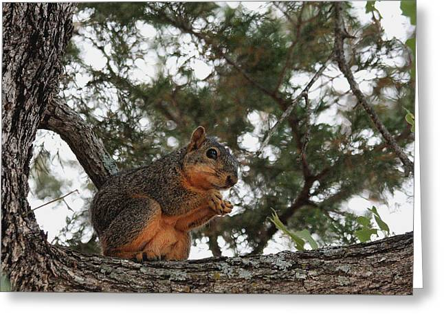 Fox Squirrel In Tree Greeting Card