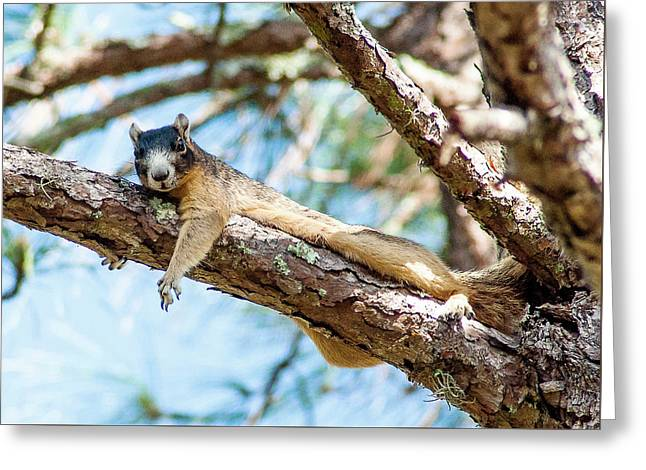 Fox Squirrel Greeting Card by Norman Johnson