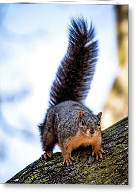 Fox Squirrel On Alert Greeting Card by Onyonet  Photo Studios