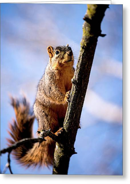 Fox Squirrel's Last Look Greeting Card by Onyonet  Photo Studios