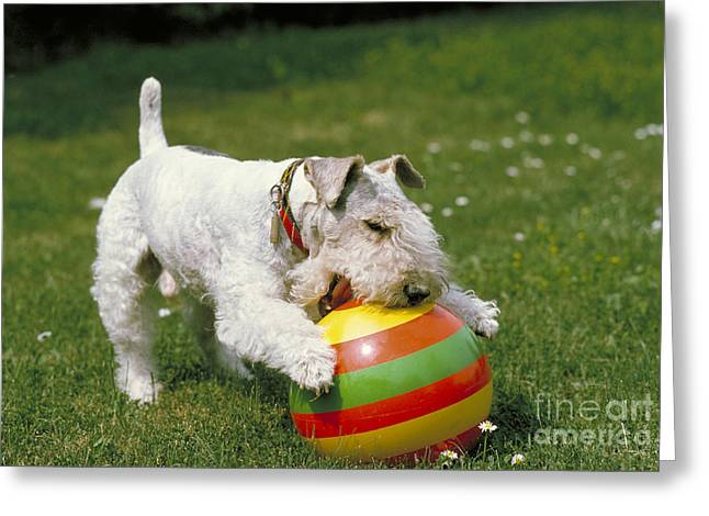 Fox Terrier With Ball Greeting Card by Frederick Ayer III
