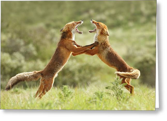 Fox Trot - Red Foxes Fighting Greeting Card by Roeselien Raimond