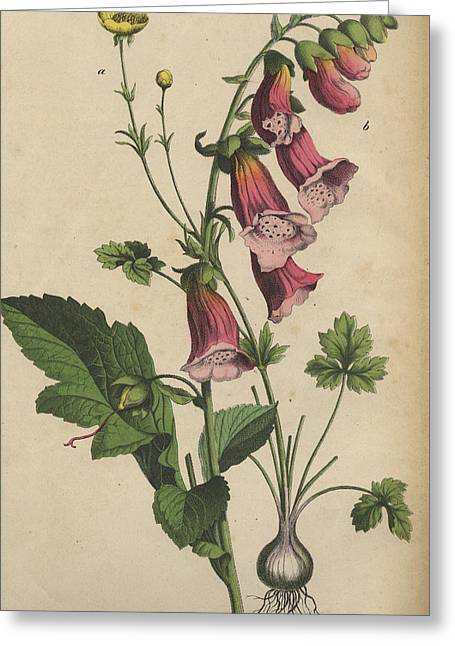 Foxglove And Buttercup Greeting Card by German Botanical Artist