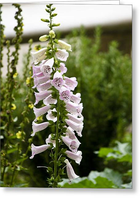 Foxglove At The Getty Greeting Card