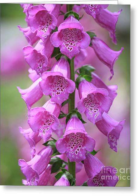 Greeting Card featuring the photograph Foxglove Flowers by Edward Fielding