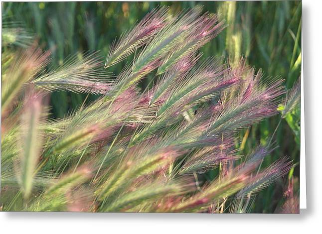 Foxtails In Spring Greeting Card