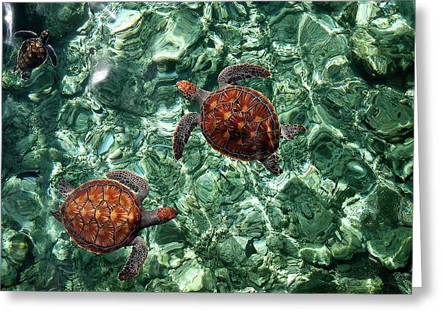 Fragile Underwater World. Sea Turtles In A Crystal Water. Maldives Greeting Card