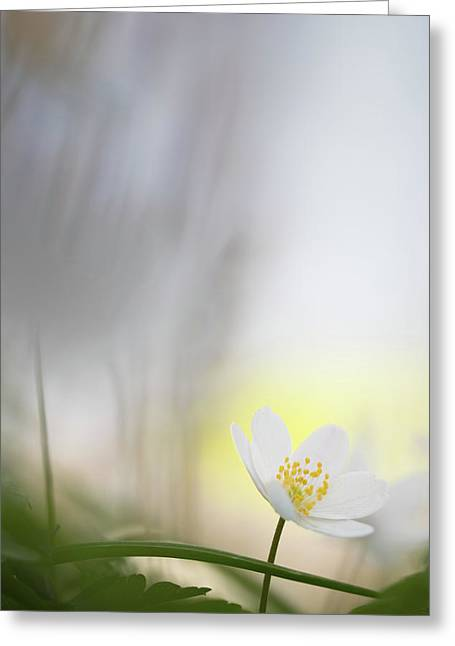 Fragility - Wood Anemone Wild Flower Greeting Card
