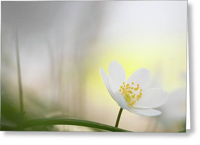 Fragility - Wood Anemone Wild Flowers Greeting Card