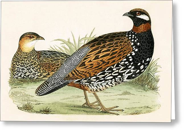 Francolin Greeting Card by English School