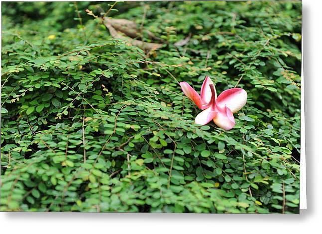 Frangipani Flower Greeting Card by Jessica Rose