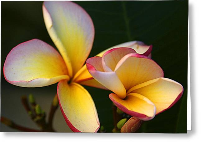 Frangipani Flowers Greeting Card by Ralph A  Ledergerber-Photography
