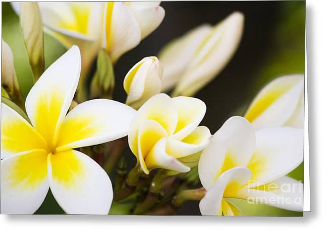 Frangipani Greeting Card by Jorgo Photography - Wall Art Gallery