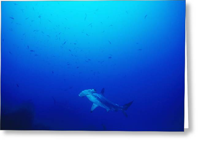 Free Swimming Scalloped Hammerhead Greeting Card by James Forte