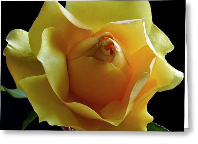 Freedom Rose Greeting Card by Terence Davis
