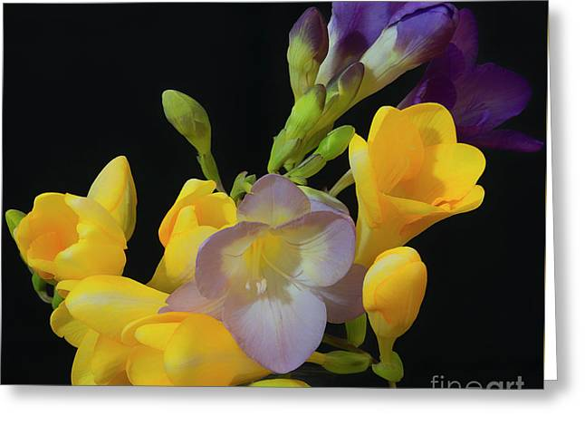 Freesias Softened 9 Greeting Card