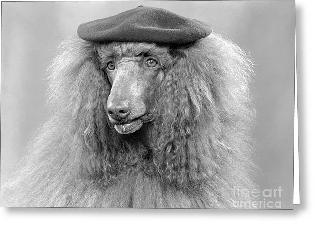 French Poodle Wearing Beret, C.1970s Greeting Card