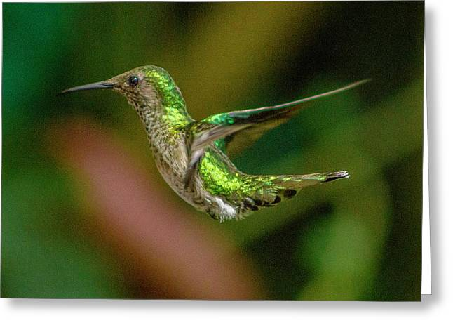 Frequent Flyer 2, Mindo Cloud Forest, Ecuador Greeting Card by Venetia Featherstone-Witty