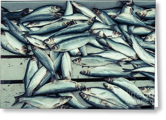 Greeting Card featuring the photograph Fresh Caught Herring Fish by Edward Fielding