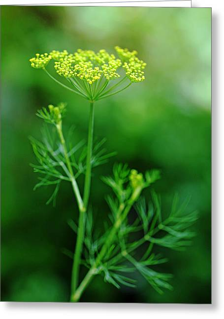 Fresh Dill Greeting Card by Debbie Oppermann