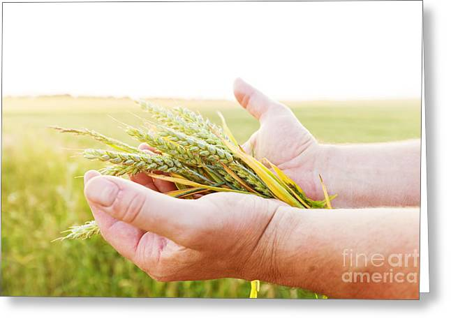 Fresh Green Cereal Grain In Farmer's Hands Greeting Card