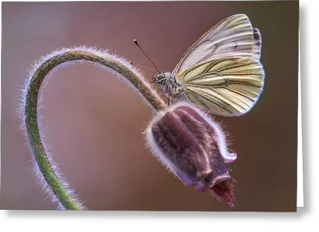 Fresh Pasque Flower And White Butterfly Greeting Card