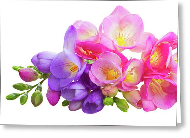 Fresh Pink And Violet Freesia Flowers Greeting Card