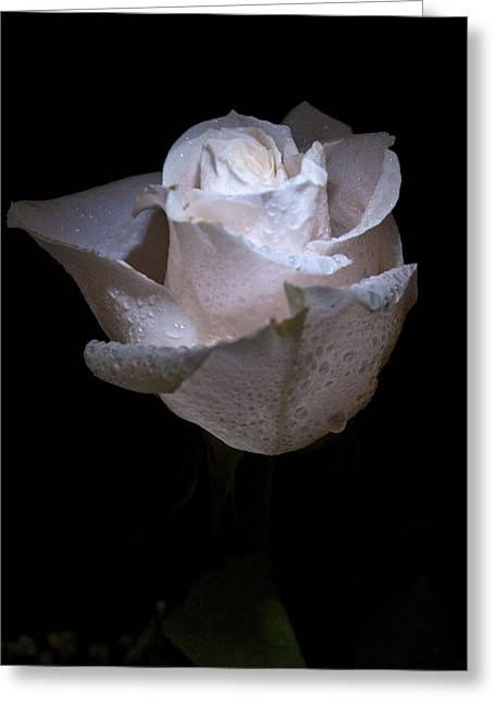 Fresh White Rose Greeting Card by Douglas Barnett