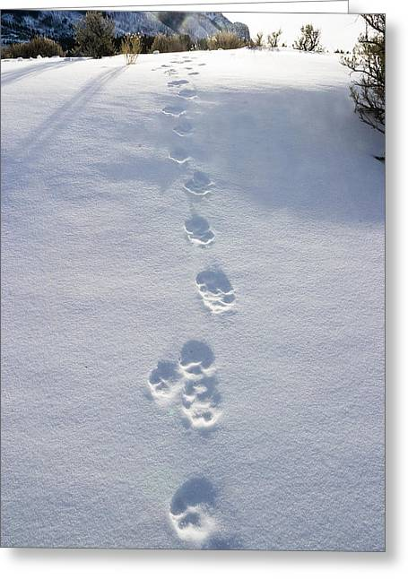 Fresh Wolf Tracks In Yellowstone Greeting Card