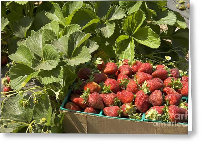 Freshly Picked Chandler Strawberries Greeting Card by Inga Spence