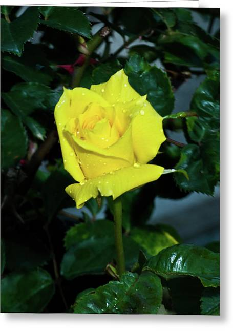 Dewdrops Greeting Cards - Friendship Yellow Rose with Dewdrops Greeting Card by Douglas Barnett