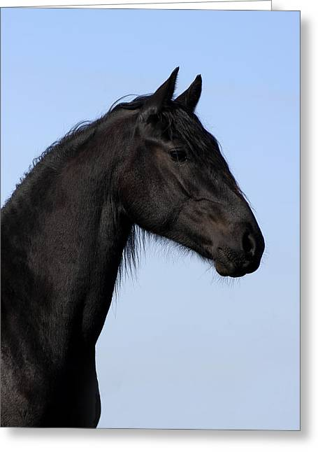 Friesian Stallion Greeting Card