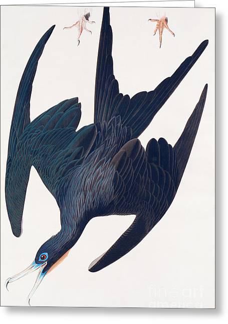Frigate Penguin Greeting Card by John James Audubon