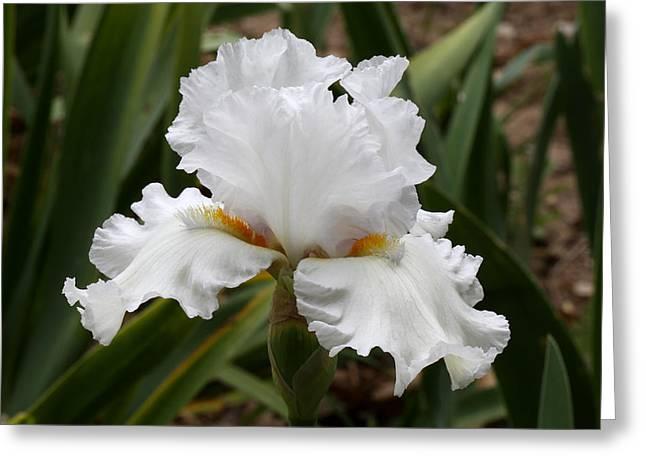 Frilly White Iris Flower Greeting Card