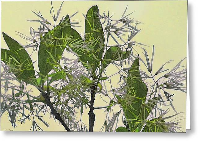 Fringe Tree Greeting Card